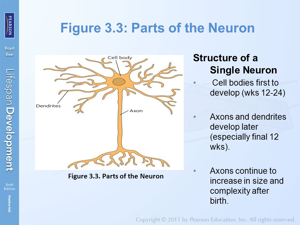Figure 3.3: Parts of the Neuron Structure of a Single Neuron Cell bodies first to develop (wks 12-24) Axons and dendrites develop later (especially fi