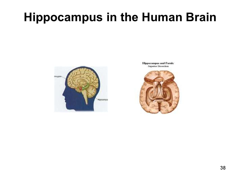 38 Hippocampus in the Human Brain