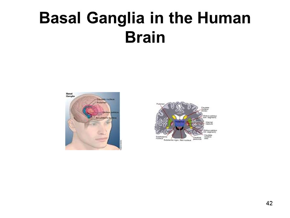 42 Basal Ganglia in the Human Brain