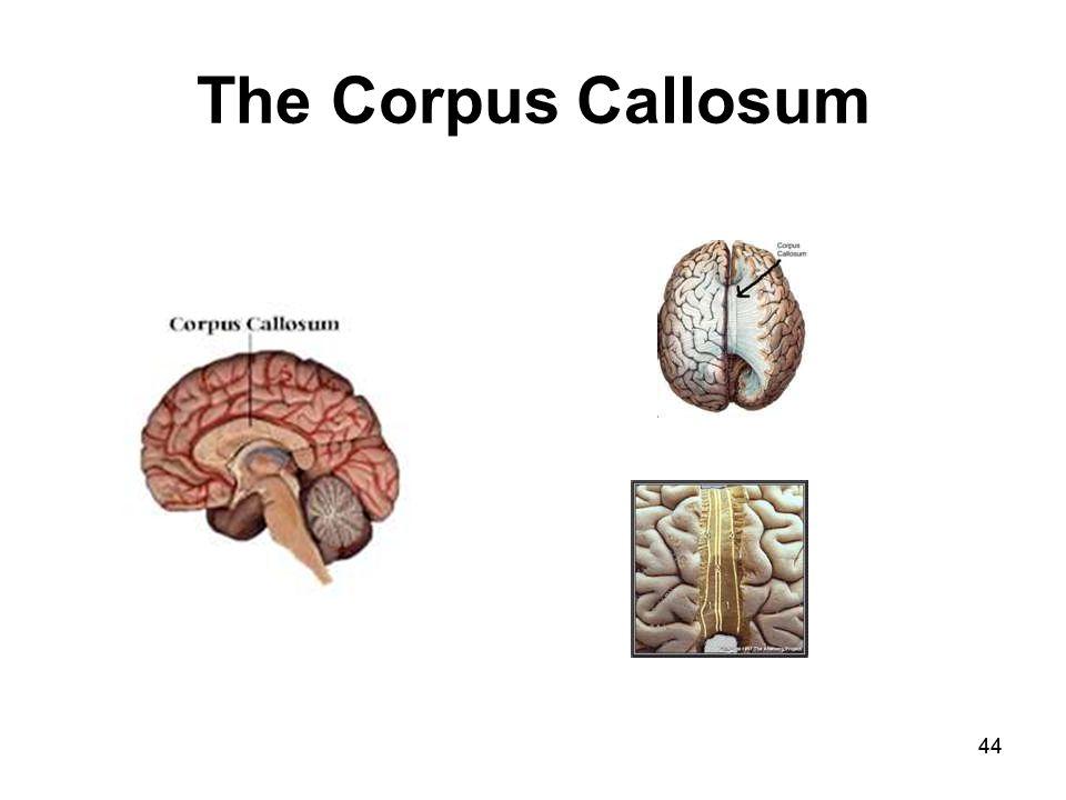 44 The Corpus Callosum