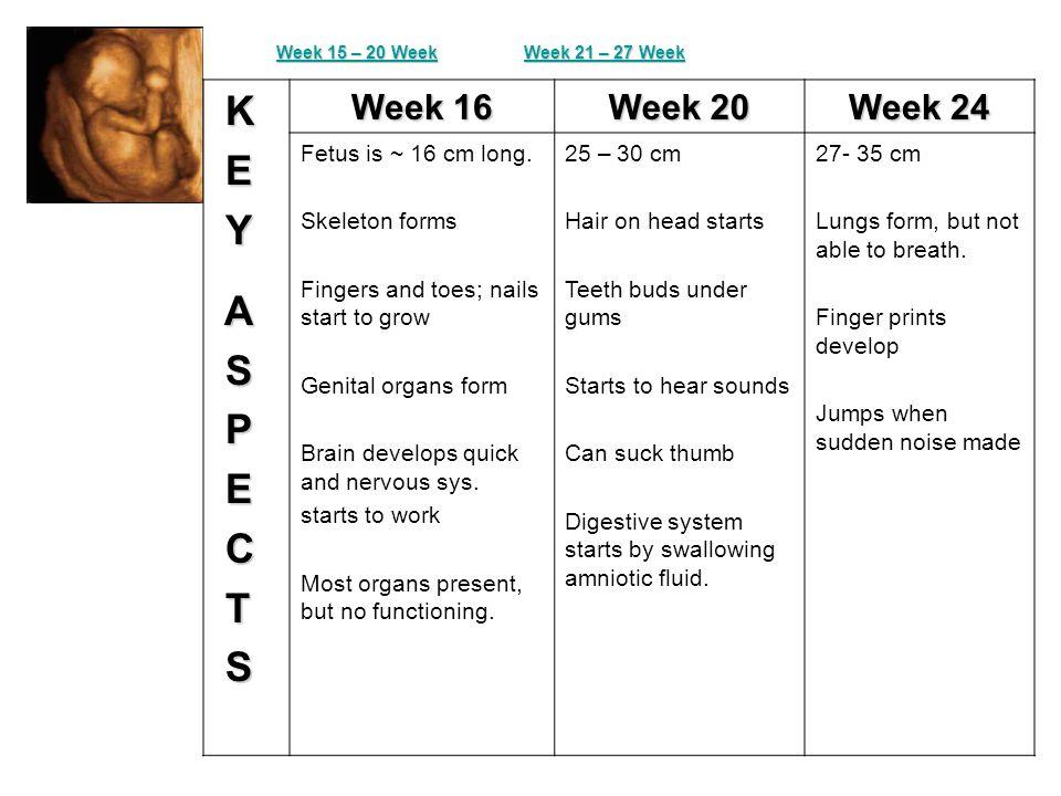 K E Y A S P E C T S Week 16 Week 20 Week 24 Fetus is ~ 16 cm long.