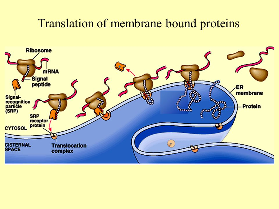 Translation of membrane bound proteins