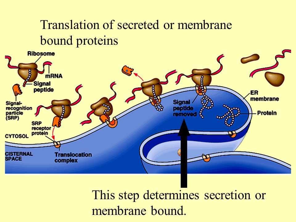 Translation of secreted or membrane bound proteins This step determines secretion or membrane bound.