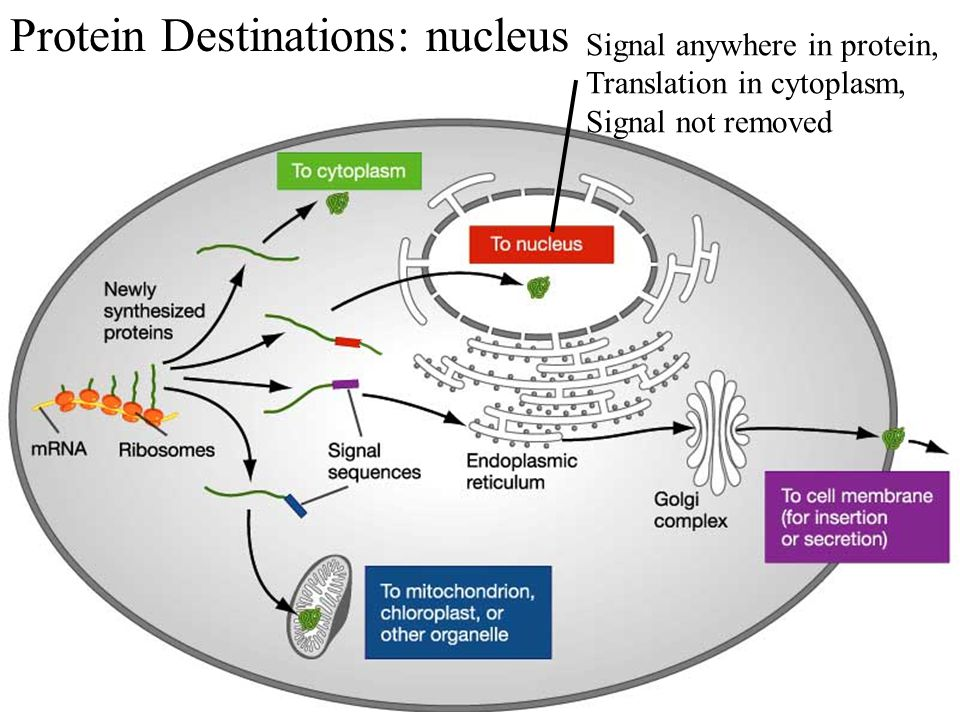 Protein Destinations: nucleus Signal anywhere in protein, Translation in cytoplasm, Signal not removed