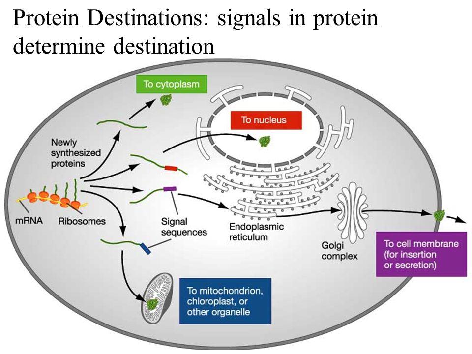 Protein Destinations: signals in protein determine destination