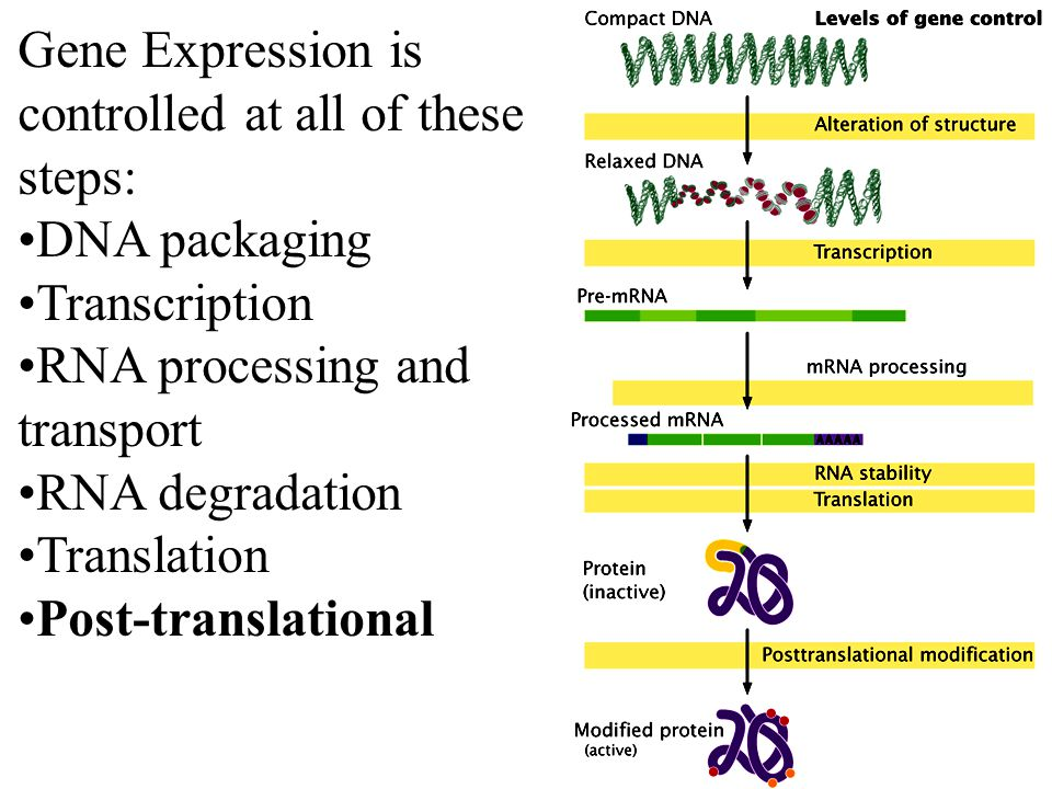 Fig 16.1 Gene Expression is controlled at all of these steps: DNA packaging Transcription RNA processing and transport RNA degradation Translation Post-translational