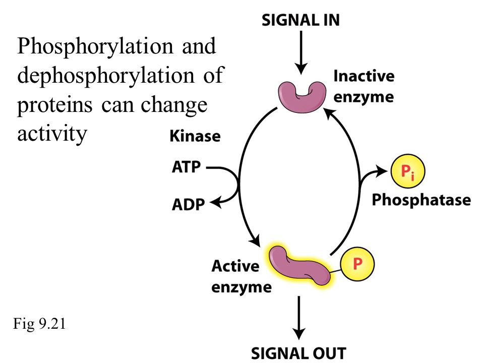 Phosphorylation and dephosphorylation of proteins can change activity Fig 9.21