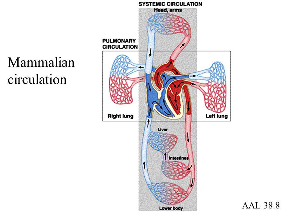 AAL 38.8 Mammalian circulation