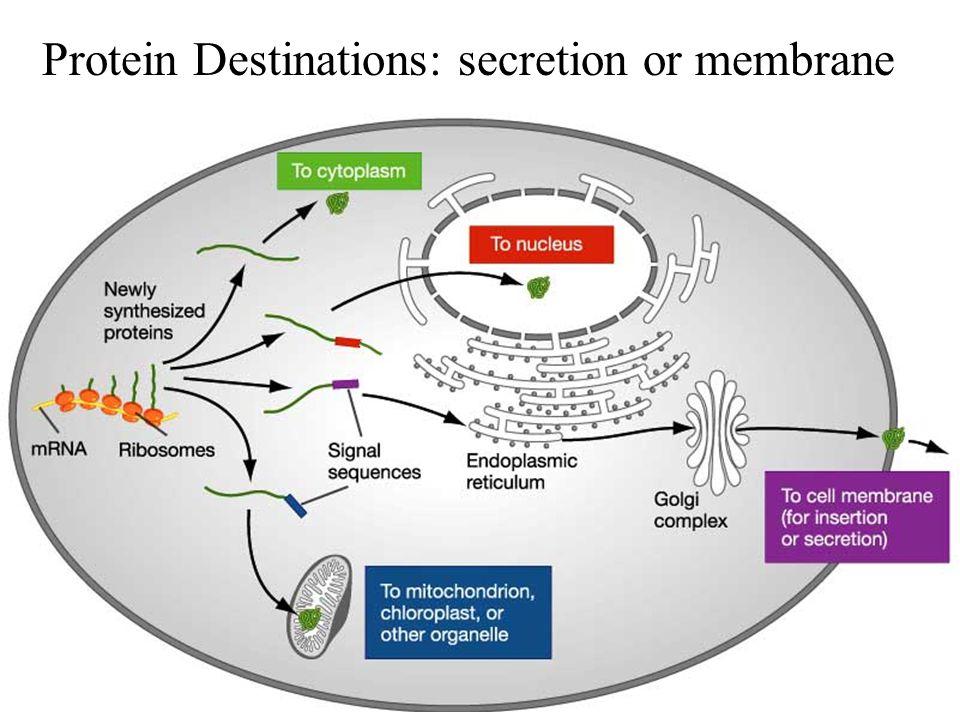Protein Destinations: secretion or membrane