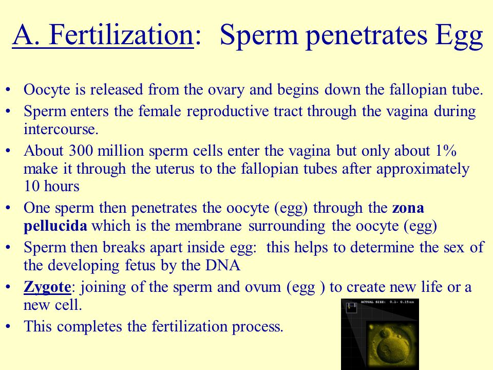 A. Fertilization: Sperm penetrates Egg Oocyte is released from the ovary and begins down the fallopian tube. Sperm enters the female reproductive trac