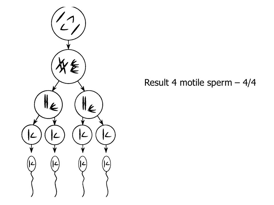 Gamete Formation (Gametogenesis) Spermatogenesis - testes produce sperm - primary sex cell  meiosis  4 monoploid cells - each usually matures into a motile sperm cell