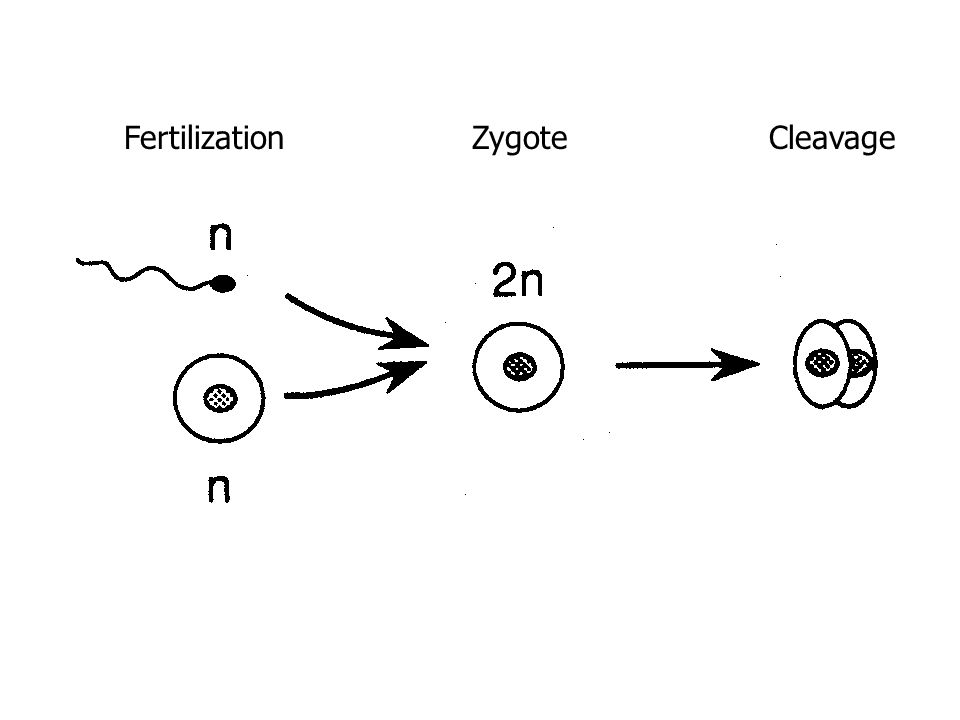 Zygote Formation - zygote  fertilized egg - sperm + egg = zygote (fertilized egg) - process is called fertilization - recombination occurs (genes from mom and dad come together) - chromosomes from both parents recombine – increases variety