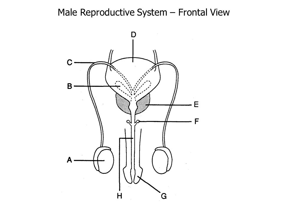 2. Vas Deferens: a. tube that connects testes to urethra b.