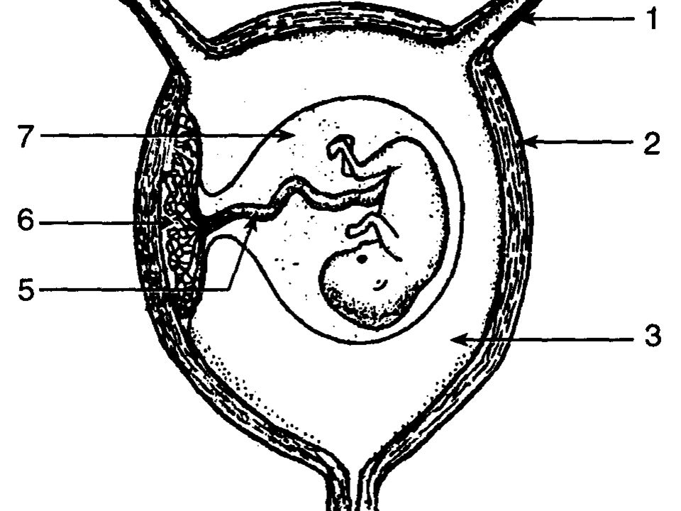2. Umbilical Cord: a. attaches placenta to fetus b.