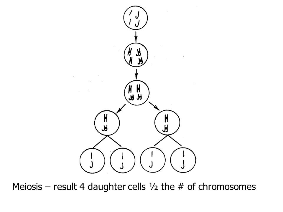 Meiosis – results: 4 daughter cells with ½ the number of chromosomes