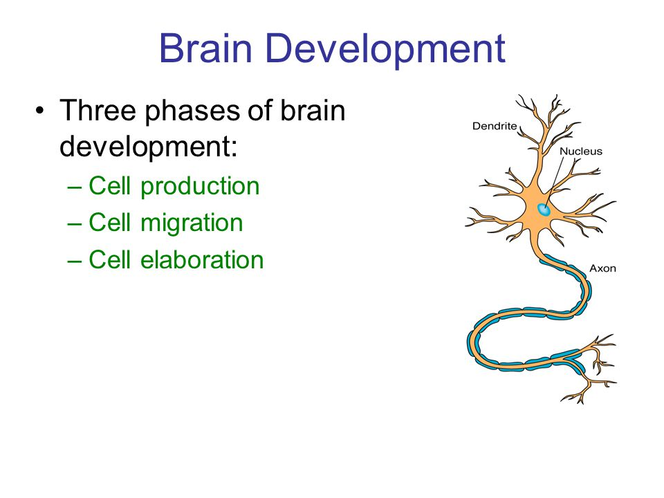 Brain Development Three phases of brain development: –Cell production –Cell migration –Cell elaboration