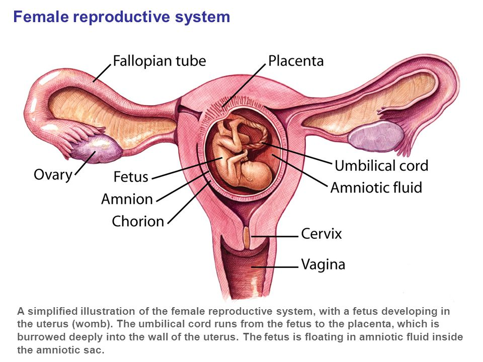 Female reproductive system A simplified illustration of the female reproductive system, with a fetus developing in the uterus (womb). The umbilical co