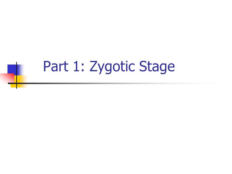 2 of 30 Stages of Prenatal Development Zygotic (or Germinal) Stage0-2 weeks Embryonic Stage2-8 weeks Fetal Stage9-40 weeks
