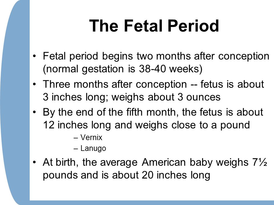The Fetal Period Fetal period begins two months after conception (normal gestation is 38-40 weeks) Three months after conception -- fetus is about 3 i