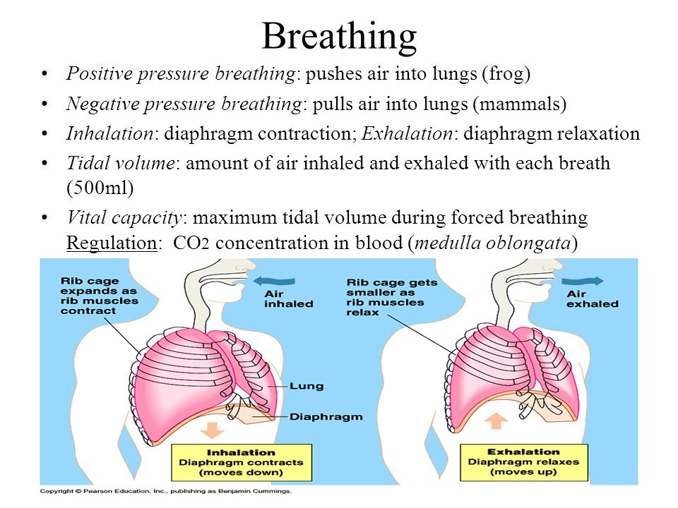 Breathing Positive pressure breathing: pushes air into lungs (frog) Negative pressure breathing: pulls air into lungs (mammals) Inhalation: diaphragm