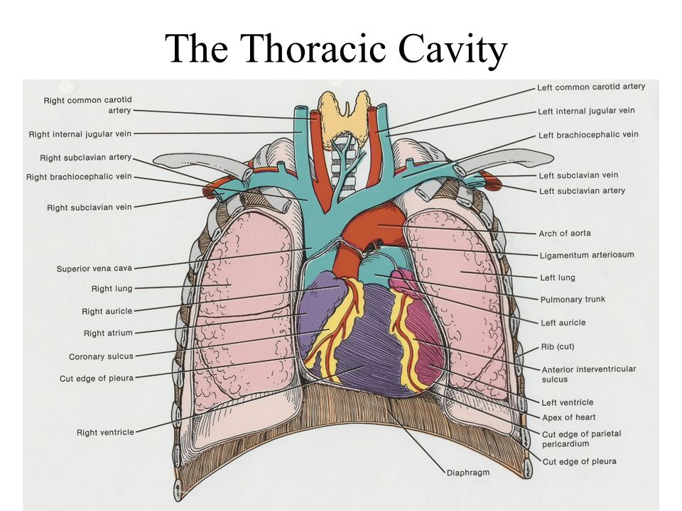 The Thoracic Cavity