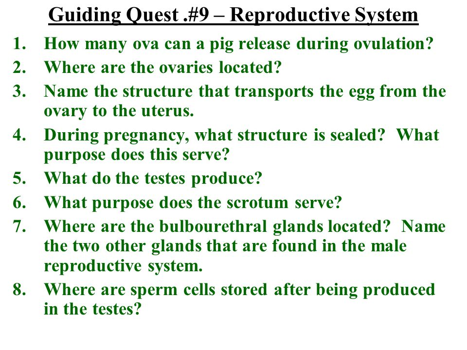 Guiding Quest.#9 – Reproductive System 1.How many ova can a pig release during ovulation? 2.Where are the ovaries located? 3.Name the structure that t
