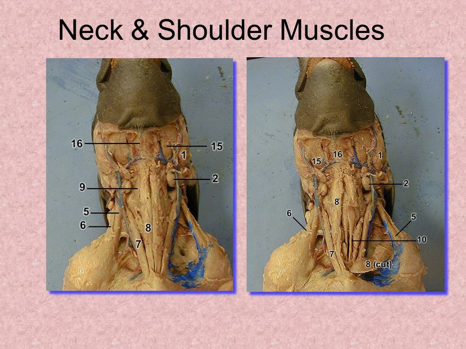 Neck & Shoulder Muscles