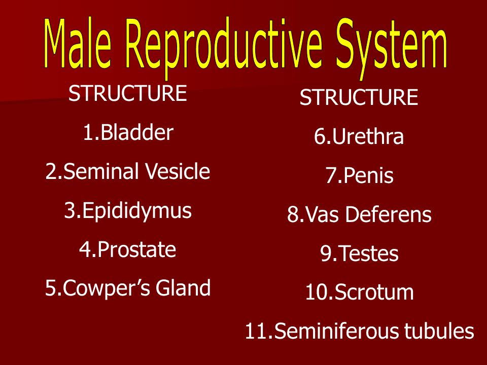 has cells that produce male hormones Take sperm to epididymis and vas deferens
