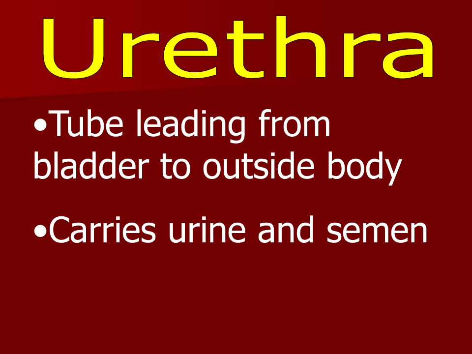 Tube leading from bladder to outside body Carries urine and semen