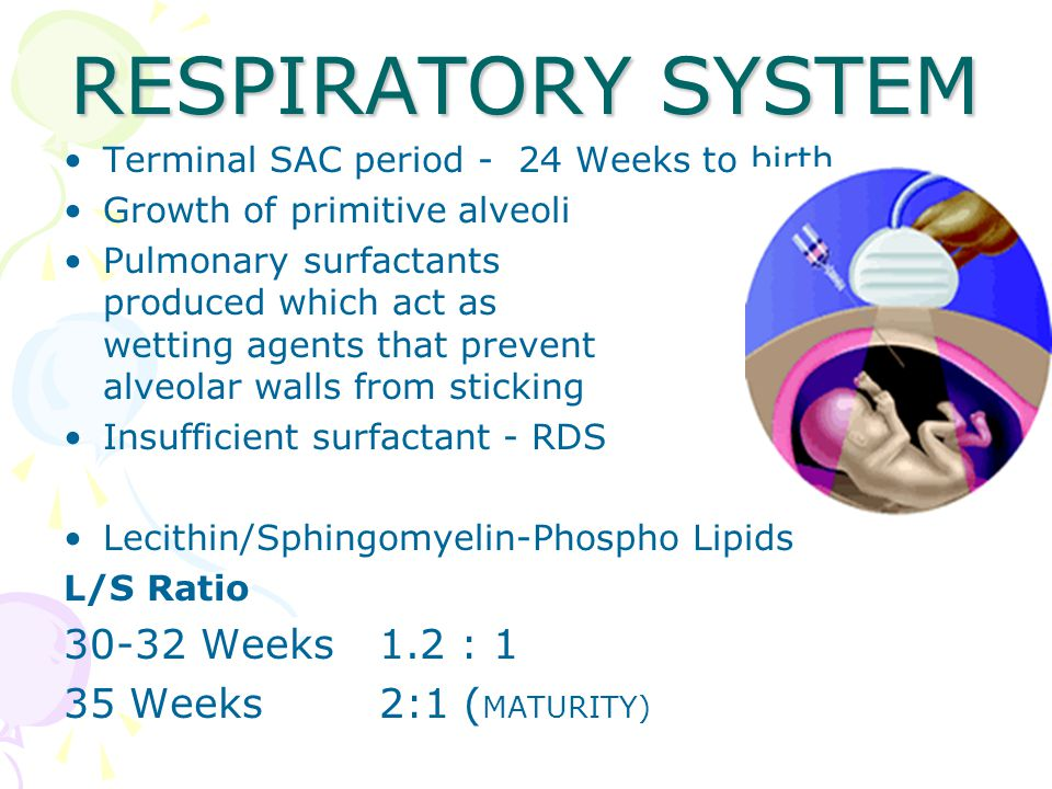 RESPIRATORY SYSTEM Terminal SAC period - 24 Weeks to birth Growth of primitive alveoli Pulmonary surfactants produced which act as wetting agents that prevent alveolar walls from sticking Insufficient surfactant - RDS Lecithin/Sphingomyelin-Phospho Lipids L/S Ratio 30-32 Weeks1.2 : 1 35 Weeks2:1 ( MATURITY)