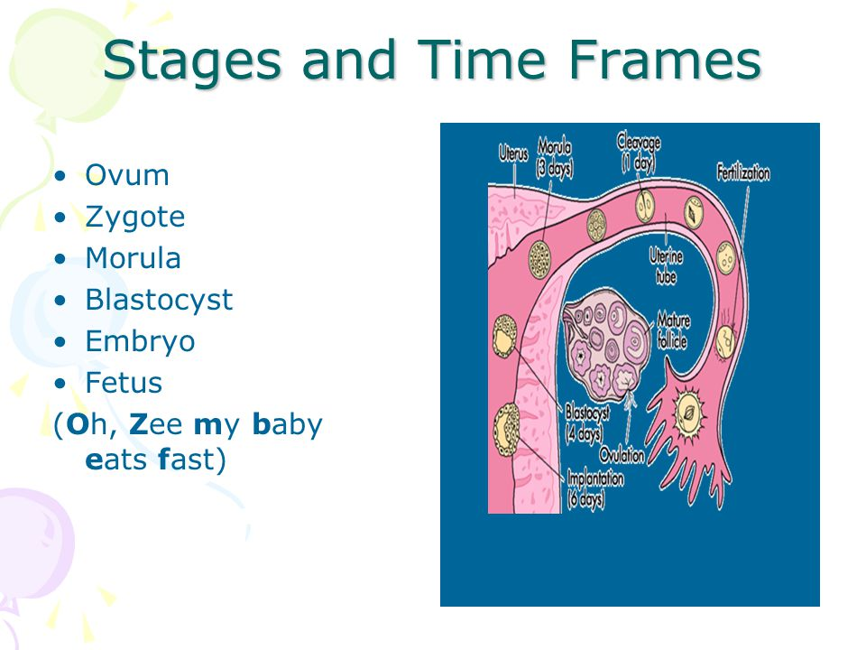 Stages and Time Frames Ovum Zygote Morula Blastocyst Embryo Fetus (Oh, Zee my baby eats fast)
