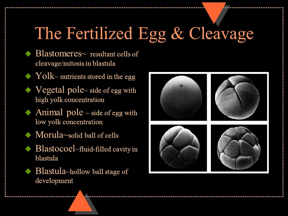 The Fertilized Egg & Cleavage u Blastomeres~ resultant cells of cleavage/mitosis in blastula u Yolk ~ nutrients stored in the egg u Vegetal pole ~ sid