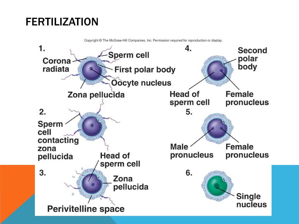 CHANGES IN HORMONES DURING PREGNANCY 28- 14