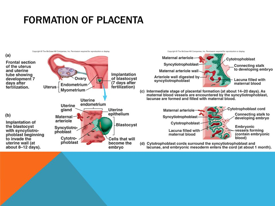 FORMATION OF PLACENTA
