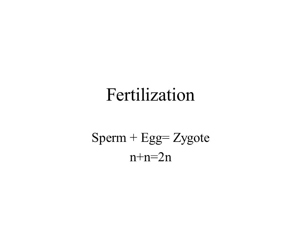 Fertilization Sperm + Egg= Zygote n+n=2n