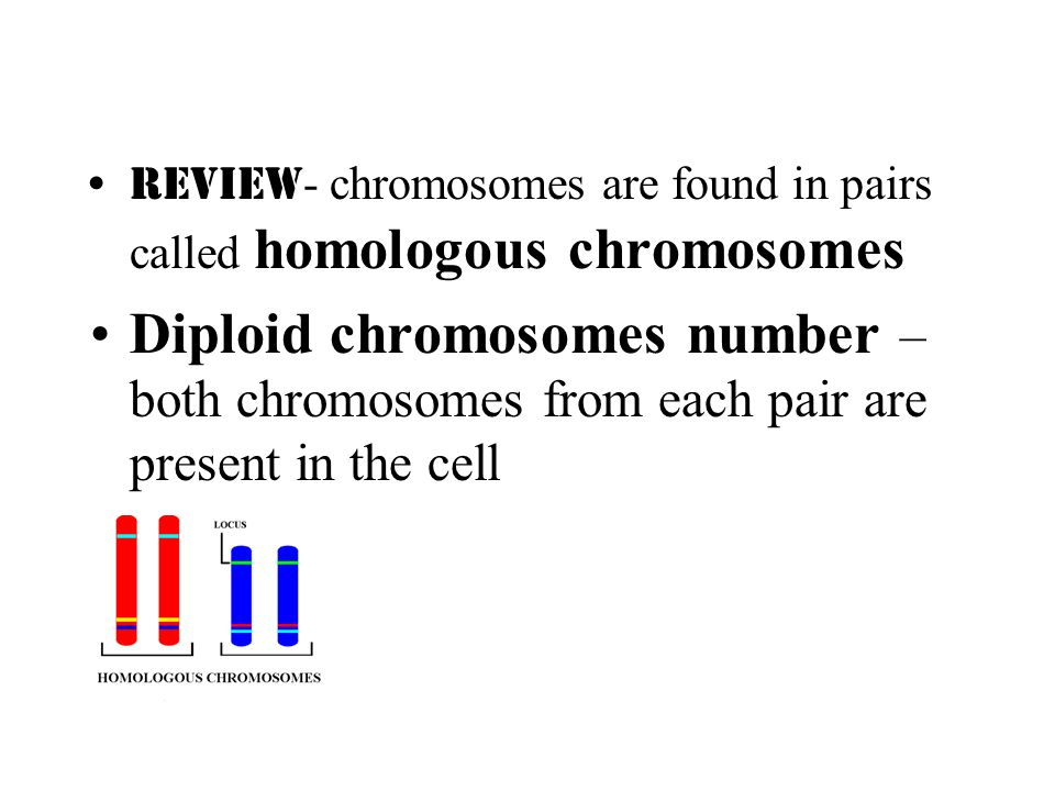 Review - chromosomes are found in pairs called homologous chromosomes Diploid chromosomes number – both chromosomes from each pair are present in the