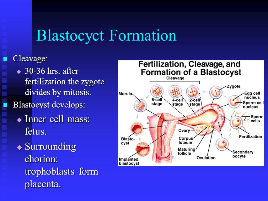 Blastocyct Formation Cleavage: Cleavage:  30-36 hrs. after fertilization the zygote divides by mitosis. Blastocyst develops: Blastocyst develops:  I