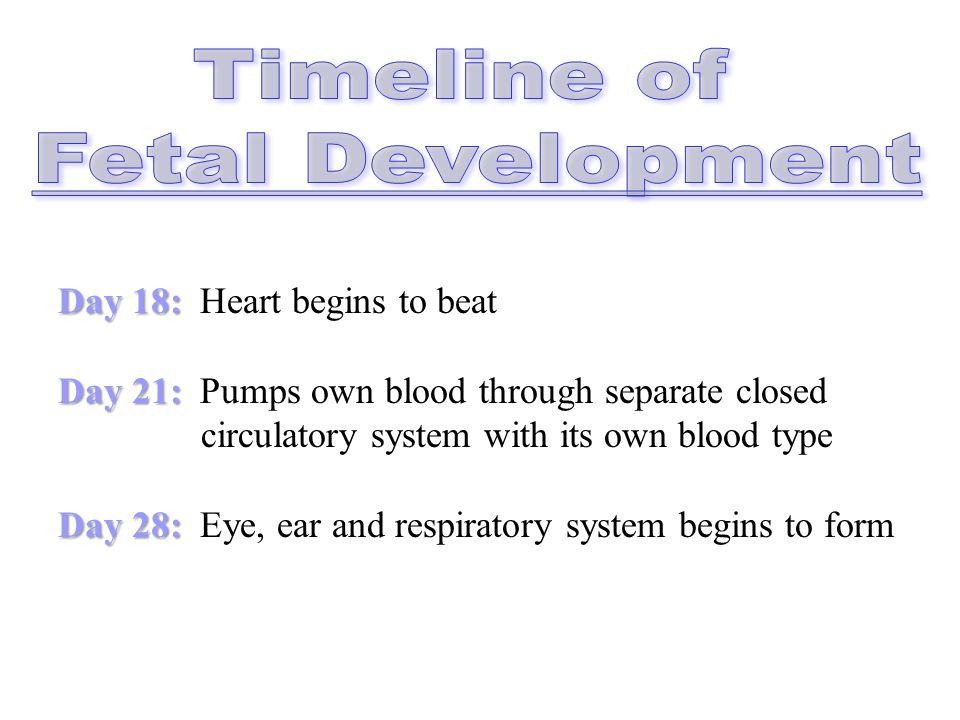 3 Stages of Fetal Development: