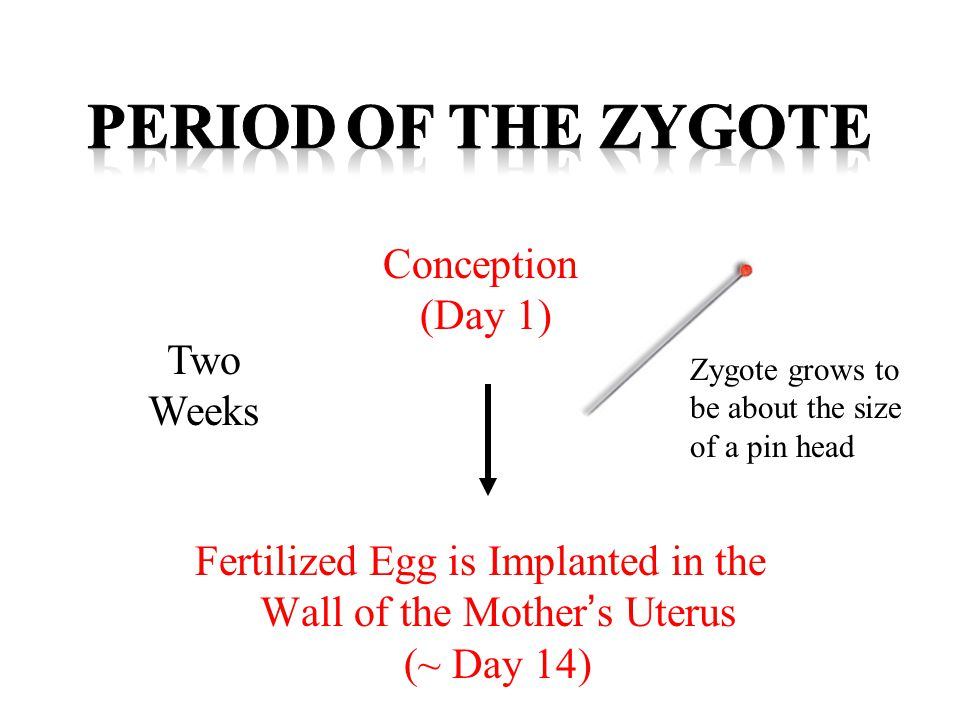 2 Weeks After Conception 2 Months After Conception *Attachment of Umbilical Cord to uterus *All Organs form *Amniotic Sac & Fluid formed 6 Weeks