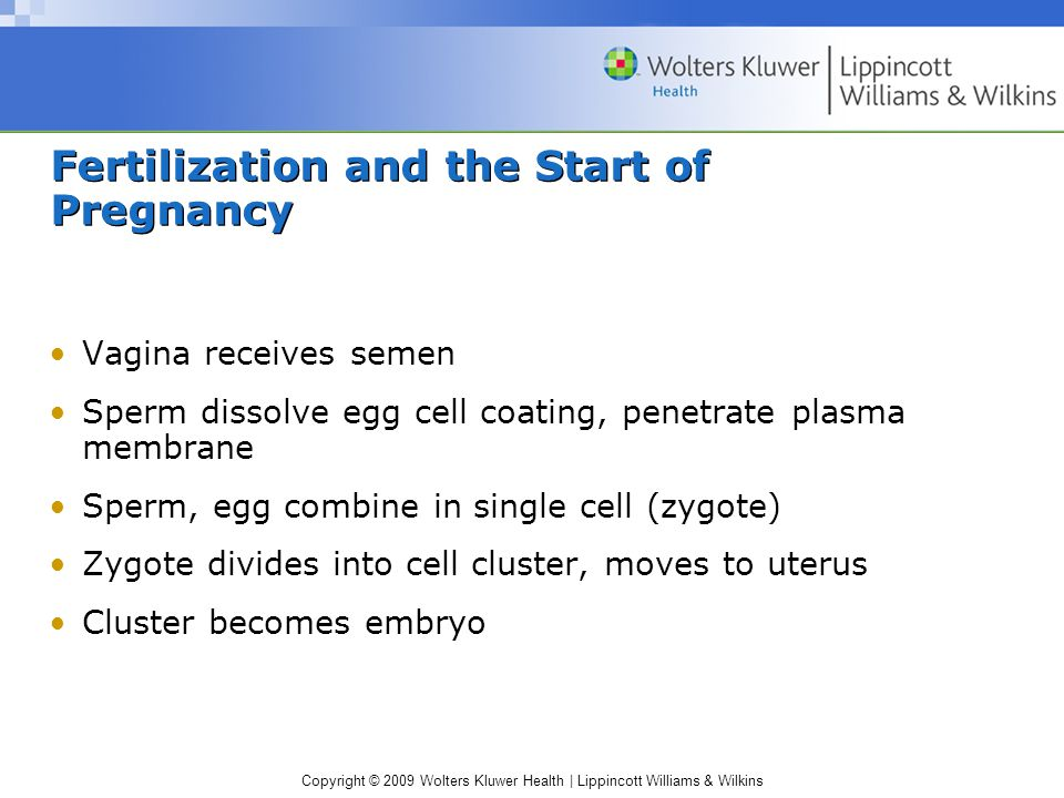 Copyright © 2009 Wolters Kluwer Health | Lippincott Williams & Wilkins Fertilization and the Start of Pregnancy Vagina receives semen Sperm dissolve egg cell coating, penetrate plasma membrane Sperm, egg combine in single cell (zygote) Zygote divides into cell cluster, moves to uterus Cluster becomes embryo