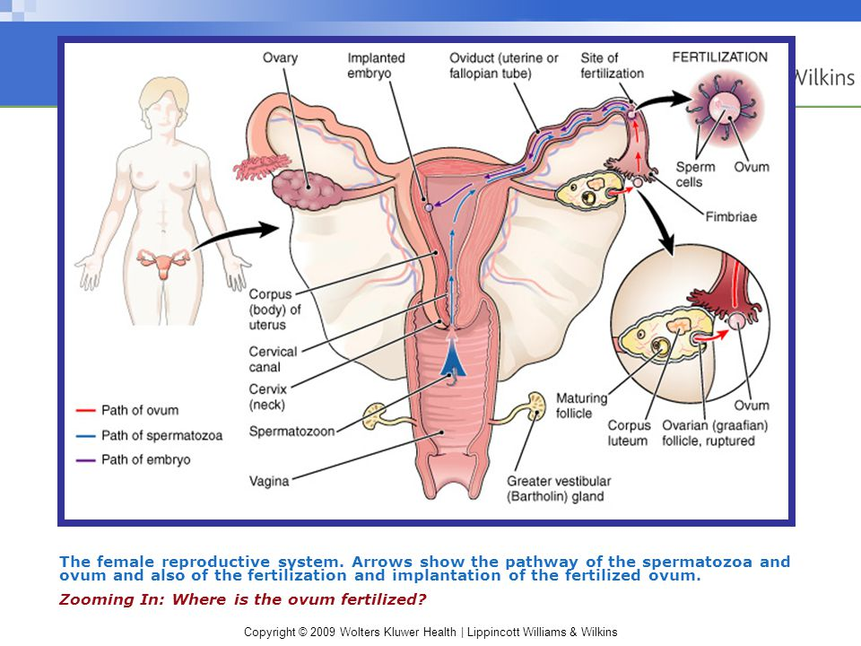 Copyright © 2009 Wolters Kluwer Health | Lippincott Williams & Wilkins The female reproductive system.