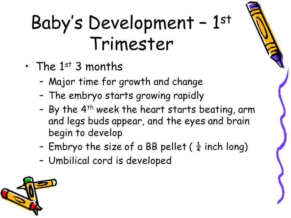 Baby's Development – 1 st Trimester The 1 st 3 months –Major time for growth and change –The embryo starts growing rapidly –By the 4 th week the heart starts beating, arm and legs buds appear, and the eyes and brain begin to develop –Embryo the size of a BB pellet ( ¼ inch long) –Umbilical cord is developed