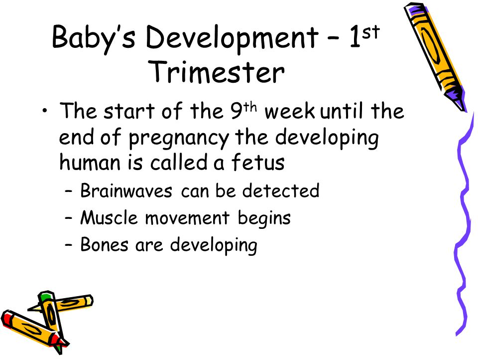 Baby's Development – 1 st Trimester The start of the 9 th week until the end of pregnancy the developing human is called a fetus –Brainwaves can be detected –Muscle movement begins –Bones are developing