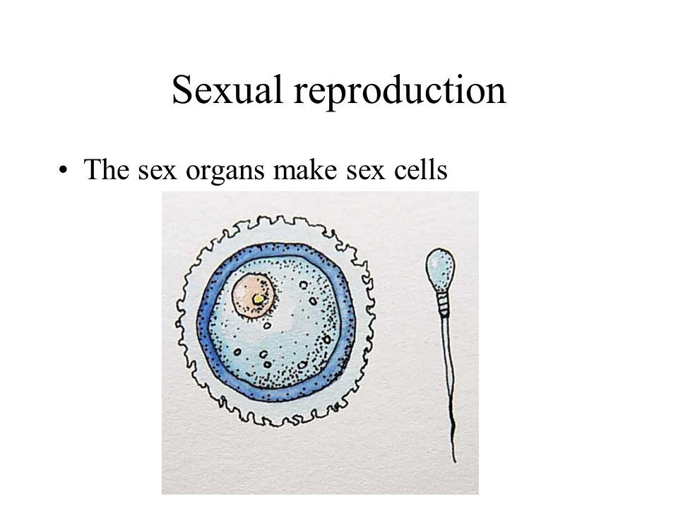 Sexual reproduction In male animals the sex cells are called sperm, made in sex organs called testes (testis is singular) I can stay alive in the vagina for up to 3 days waiting for an egg to be released.