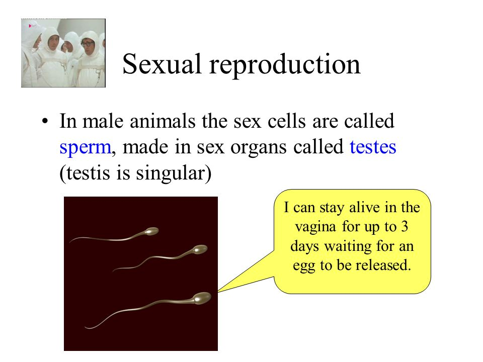 Sexual reproduction In male animals the sex cells are called sperm, made in sex organs called testes (testis is singular) I can stay alive in the vagi