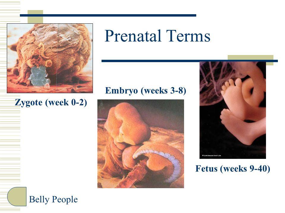 Prenatal Terms Belly People Zygote (week 0-2) Embryo (weeks 3-8) Fetus (weeks 9-40)