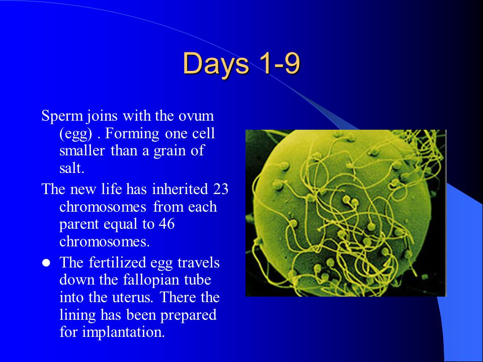Days 1-9 Sperm joins with the ovum (egg). Forming one cell smaller than a grain of salt.