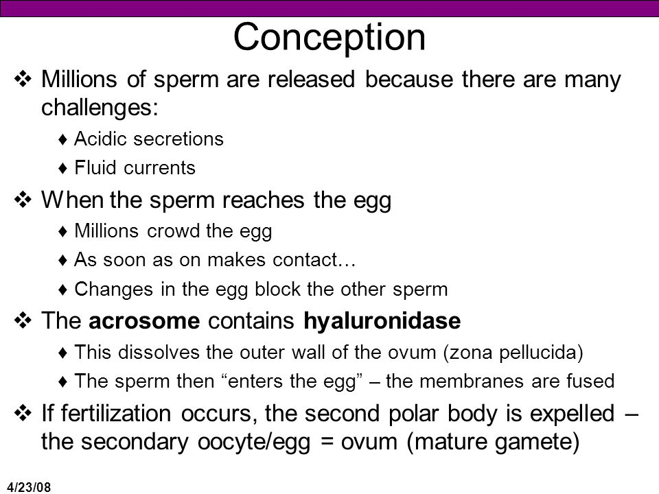 4/23/08 Conception  Millions of sperm are released because there are many challenges: ♦Acidic secretions ♦Fluid currents  When the sperm reaches the egg ♦Millions crowd the egg ♦As soon as on makes contact… ♦Changes in the egg block the other sperm  The acrosome contains hyaluronidase ♦This dissolves the outer wall of the ovum (zona pellucida) ♦The sperm then enters the egg – the membranes are fused  If fertilization occurs, the second polar body is expelled – the secondary oocyte/egg = ovum (mature gamete)
