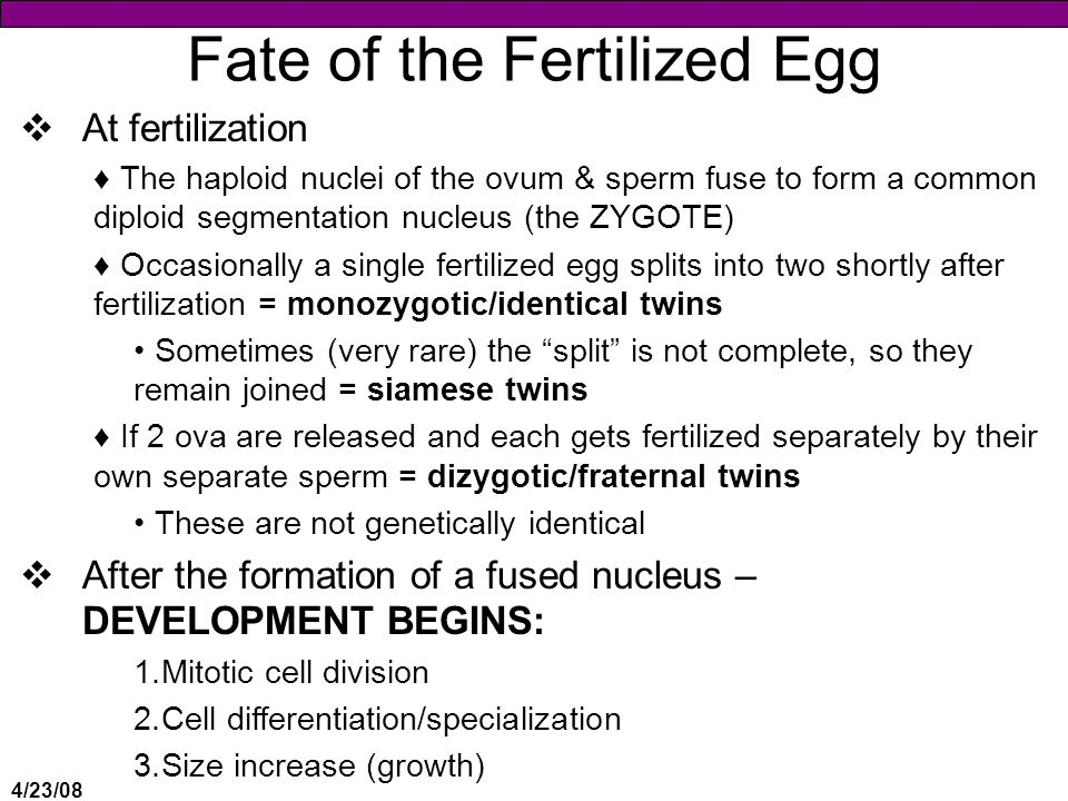 4/23/08 Fate of the Fertilized Egg  At fertilization ♦The haploid nuclei of the ovum & sperm fuse to form a common diploid segmentation nucleus (the ZYGOTE) ♦Occasionally a single fertilized egg splits into two shortly after fertilization = monozygotic/identical twins Sometimes (very rare) the split is not complete, so they remain joined = siamese twins ♦If 2 ova are released and each gets fertilized separately by their own separate sperm = dizygotic/fraternal twins These are not genetically identical  After the formation of a fused nucleus – DEVELOPMENT BEGINS: 1.Mitotic cell division 2.Cell differentiation/specialization 3.Size increase (growth)