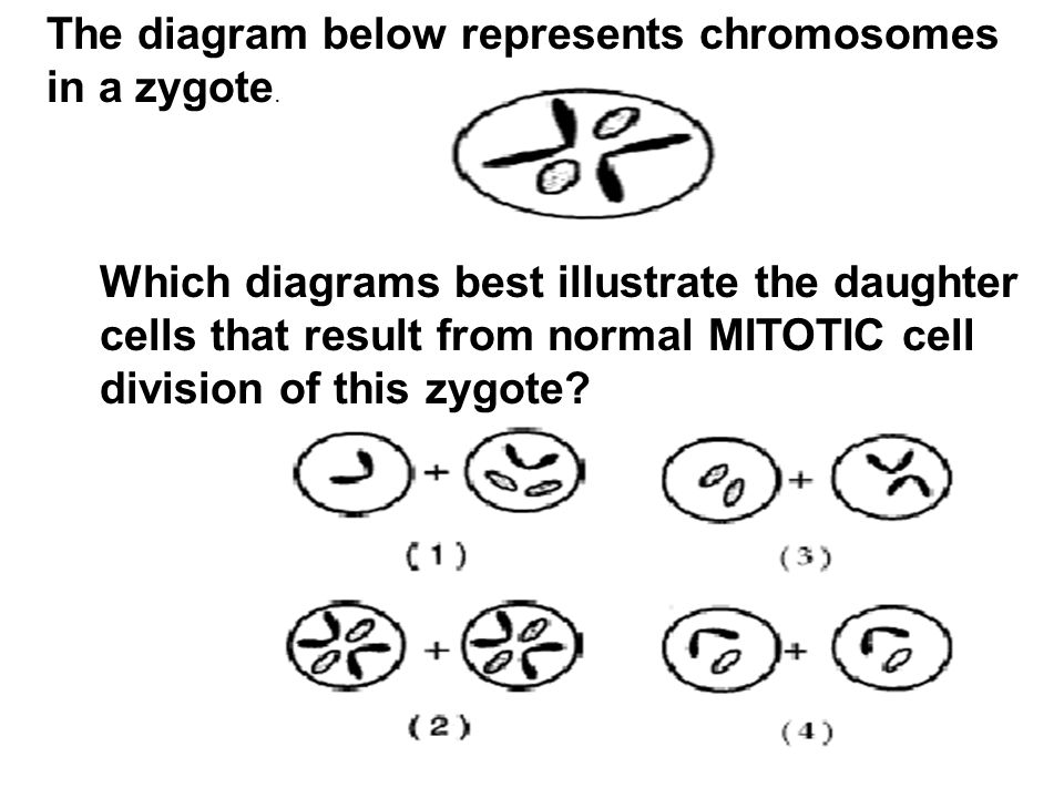 The diagram below represents chromosomes in a zygote. Which diagrams best illustrate the daughter cells that result from normal MITOTIC cell division